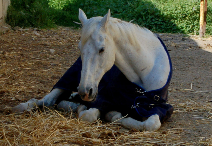 Отдых и сон лошади