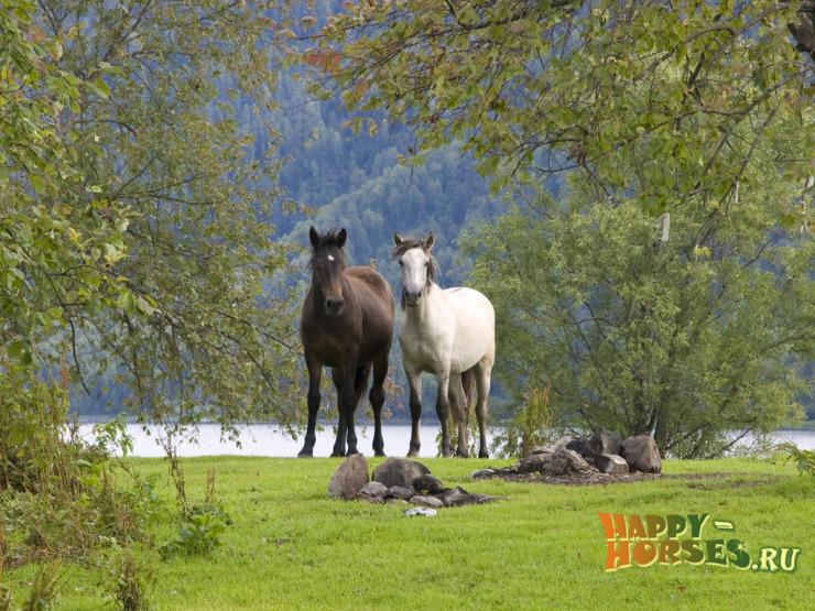 Дикие лошади Алтайского края