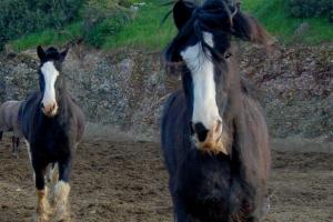 Бегущие лошади породы Шайр