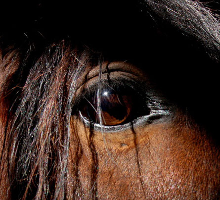 Зрение лошади. Глаз дошади