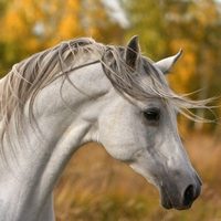 Арабская чистокровная порода лошадей.