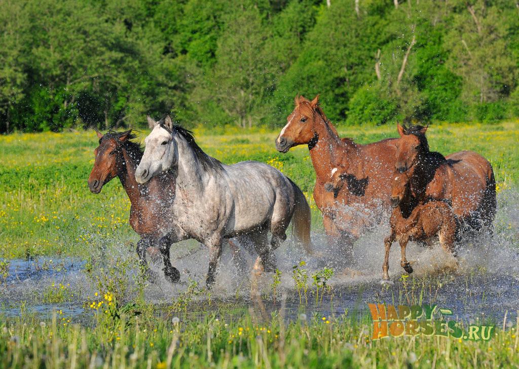 Табун чистокровных верховых лошадей