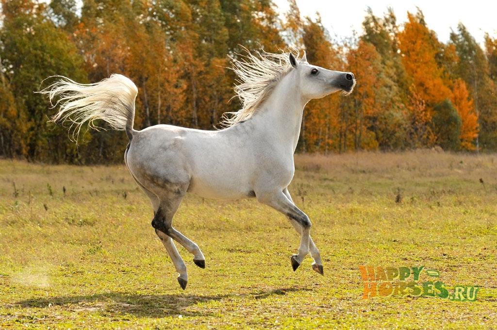 фото лошади арабской породы