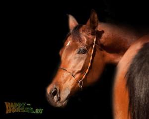 Портрет гнедой арабской лошади