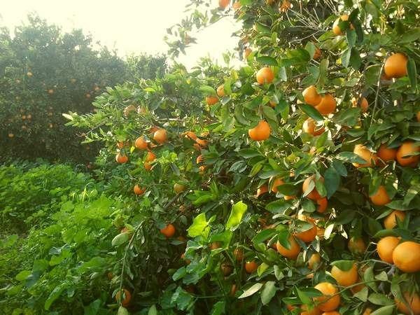 Новогодние апельсины