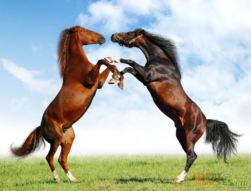 фото буденновская порода лошадей