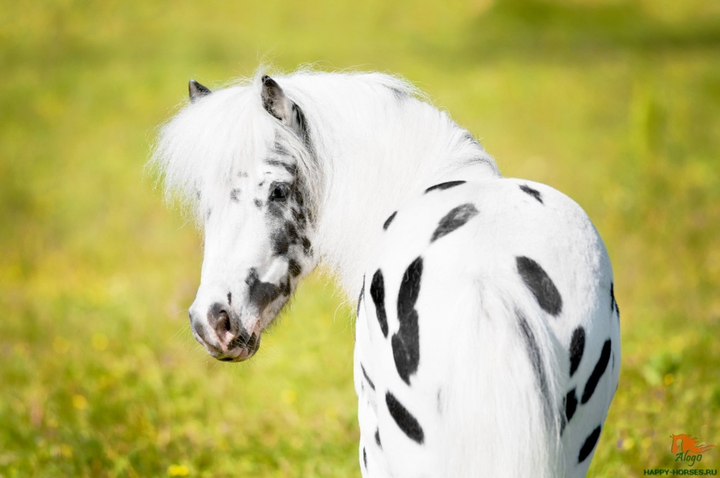 Appaloosa pony portrait