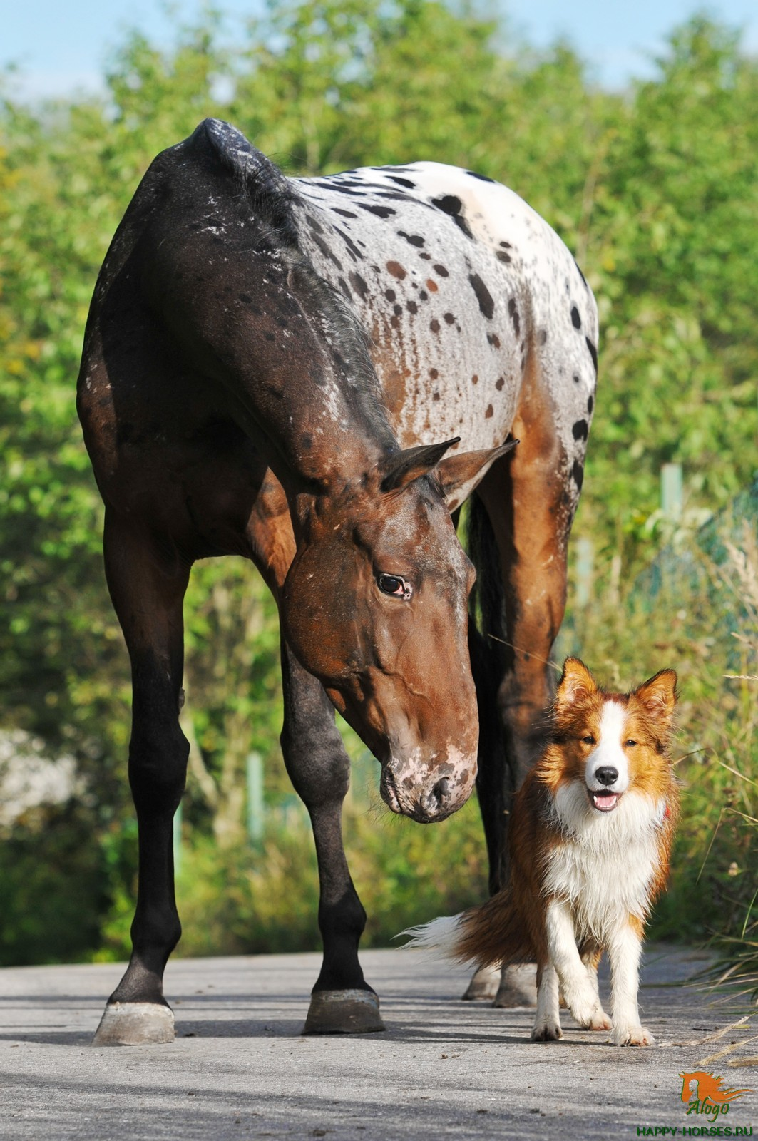 Изюминка аппалузской породы лошадей – необычные комбинации цветов и оттенков в окрасе