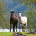 Алтайская лошадь. Местная порода Алтайского края