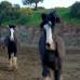 Шайры. Лошади породы шайр
