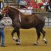 Самая высокая лошадь в мире