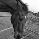 Поведение лошади. Прижимает уши – что это значит?